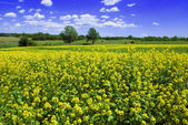 Beautiful mustard field — Stock Photo