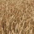 Field of Wheat Crop — Stock Photo