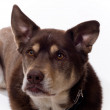 Handsome Husky Lab Mixed Breed — Stock Photo #12394992