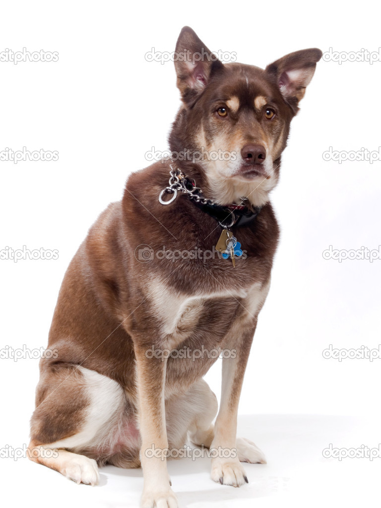 Red Heeler Poodle Mix Auto Electrical Wiring Diagram Pin Animal Cell Not Labeled Detailed Pinterest Ajilbab Com Handsome Husky Lab Mixed Breed U2014 Stock Photo U00a9 Jimdelillo