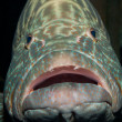 Grouper fish — Stock Photo #12412413