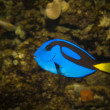 Bright Blue Tropical Fish — Stock Photo #12412511
