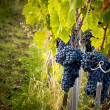 Grapes on Vine — Stock Photo #12413604