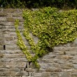 Climbing Ivy - Stock Photo
