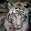 White Tiger — Stock Photo #12417031