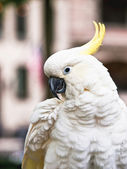Sulphur-Crested Cockatoo — Stock Photo