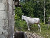 哥斯达黎加的 nag 马 — 图库照片