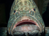 Grouper fish — Stock Photo