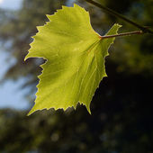Sunlit Grape Leaf — Stock Photo