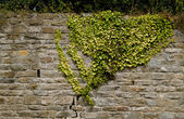 Climbing Ivy — Stock Photo