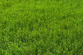 Green grass on the lawn , grass texture — Stock Photo