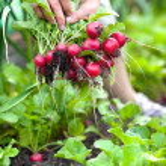 Picking vegetables — Stock Photo
