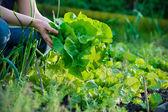 Cueillette des légumes — Photo