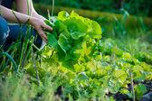Picking vegetables — Stockfoto