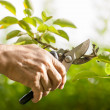 Stock Photo: Pruning of trees with secateurs