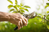 Pruning of trees with secateurs — Stock Photo