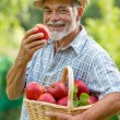 Gardener with a basket of ripe apples — Stock Photo