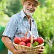 Gardener with a basket of ripe apples - Stock Photo