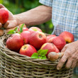 Basket of ripe apples - Stock Photo