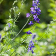 Delphinium - Stock Photo