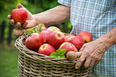 Basket of ripe apples — Stock Photo