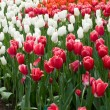 Постер, плакат: Red white and orange tulips netherlands