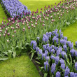 Stock Photo: Hyacinths and tulips, keukenhof