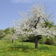 Blossoming orchard #3, baden — Stock Photo