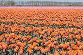 Orange tuilp field #1, netherlands — Foto de Stock