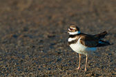 The Killdeer (Charadrius vociferus) — Stock Photo