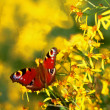 Stock Photo: Peacock, butterfly on flower, also as corner