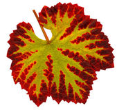 A leaf of the vine in the fall — Stock Photo