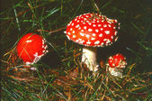 Three fly agarics or fly amanitas — Stock Photo