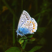 Common Blue, a butterfly on a dark background — Stock Photo