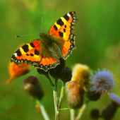 Small Tortoiseshell, a butterfly on a flower — Stock Photo