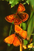 A male and a female scarce copper, on a blade of grass — Stock Photo