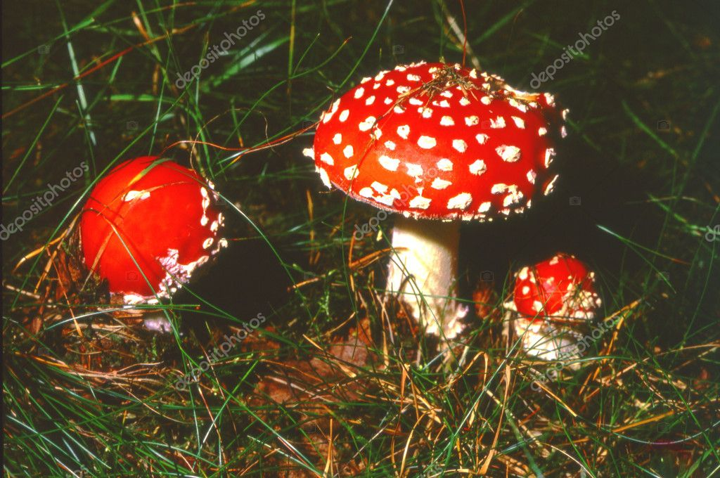 Three fly agarics or fly amanitas2400 dpi scan from 6x6 slide, not interpolated magnification — Stock Photo #11488882