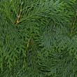 Texture dark green arborvitae — Stock Photo