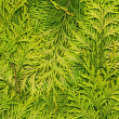 Texture light green arborvitae — Stock Photo