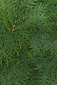 Texture dark green arborvitae — Foto de Stock