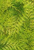 Texture light green arborvitae — Stock Photo