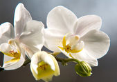 White orchids at daylight — Stock Photo