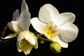 White orchid with black background — Stok fotoğraf