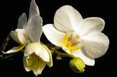 Bílá orchidej s černým pozadím — Stock fotografie