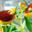 Blooming calceolaria — Stock Photo