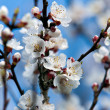 Apricot flowers — Stock Photo
