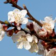 Stock Photo: Blooming apricot 2