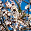 Stock Photo: Blooming apricot 3