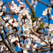 Blooming apricot 3 — Stockfoto #11639770