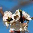 Blooming apricot — Stock Photo